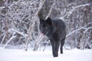 Black Wolf Snow