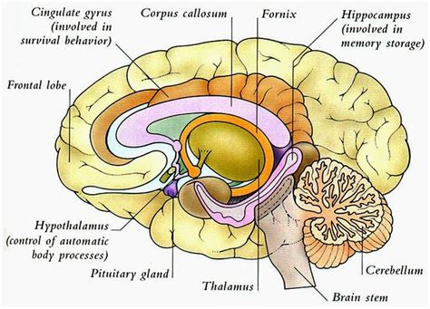 brain diagram   clip art  clip art  clipart library