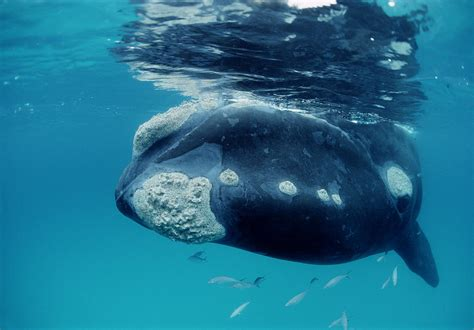 southern  whale australia photograph  mike parry