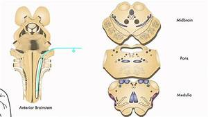 Axon  Trigeminothalamic Pathway  Pain  U0026 Temperature  From