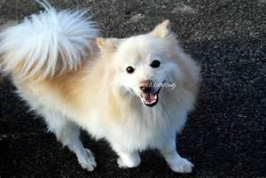 22909 canined american eskimo pomeranian hybrid toy dog ce ...