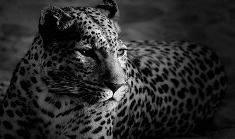 Jaguar Animal Hd Wallpapers 1080p - white jaguar animal wallpaper hd