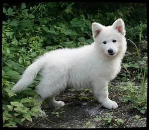 Bébé Loup Blanc : articles de zanimaux230 tagg s berger blanc suisse un ~ Farleysfitness.com Idées de Décoration