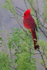 Beautiful Red Cardinal Bird