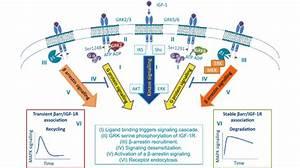 Igf Gpcr Functional Hybrid  Signaling  Agonist
