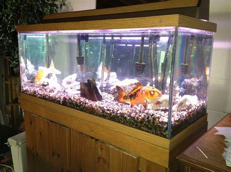 memelihara ikan koi  aquarium sebagai dekorasi