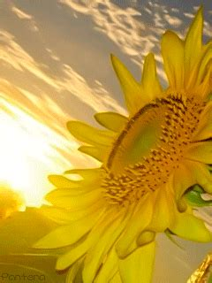 sunflowers gifs find share  giphy
