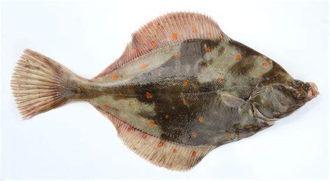 cuisiner du carrelet les poissons cuisine à l 39 ouest
