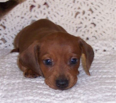 Sandcreek Pets Dachshund Puppies Photo Gallery