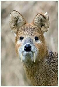 """Chinese water deer are referred to as as """"vampire deer ..."""