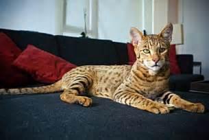 ashera cat ashera cats 125 000 felines with