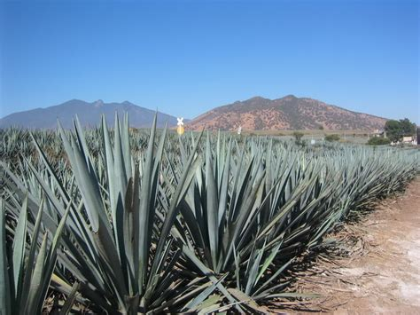 blue agave plant care blue agave plant www imgkid com the image kid has it