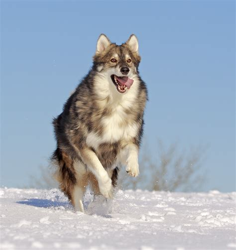 jumping utonagan dog photo  wallpaper beautiful