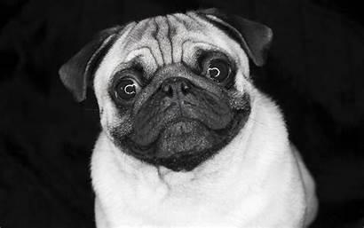 Pug Wallpapers Animal Desktop Dog 1600 Pixelstalk
