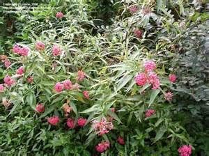 plantfiles pictures panama bush pentas rondeletia leucophylla by jnana