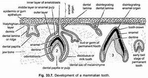 Development Of A Tooth  With Diagram