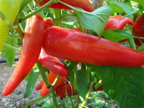 hot banana chili grosse laengliche fruechte