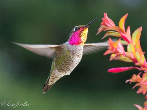 heat l for hummingbirds hummingbird pink head 1 of 1 things are looking up