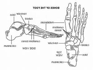 Diagram Of Bones Of The Foot