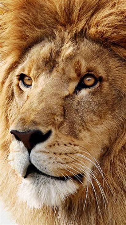 Lion Wallpapers Mac Iphone Os Animals Galaxy