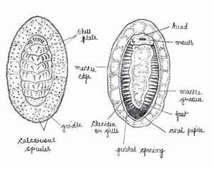 Snail Diagram Zoology