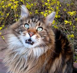 maine coon cats for maine coon cats cats