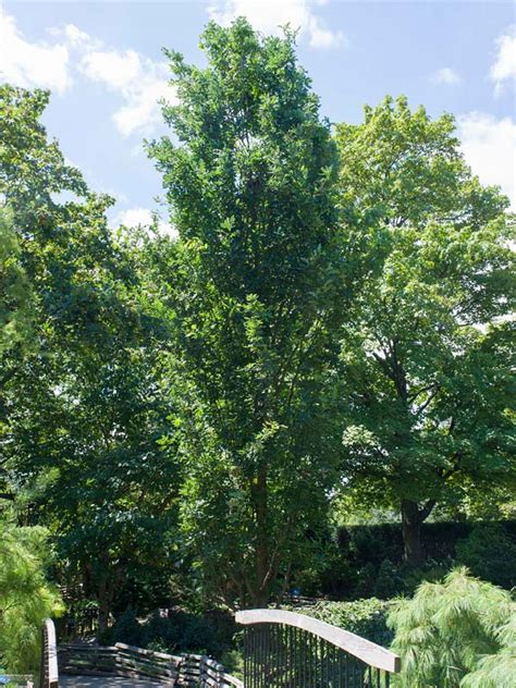 fastigiate english oak chicago botanic garden