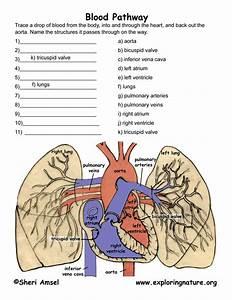 Blood Flow Through The Heart  U2013 Multiple Choice Test