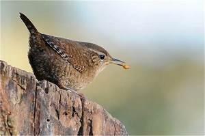 Heimische Singvögel Bilder : unser kleinster heimischer vogel bild foto von hans wilhelm gr mping aus singv gel ~ Whattoseeinmadrid.com Haus und Dekorationen