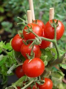 Plant Tomate Cerise : greffe tomates tout ~ Melissatoandfro.com Idées de Décoration