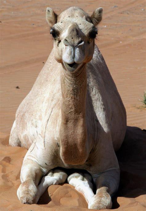 Camel Resting United Arab Emirates  Photography  Pinterest  United Arab Emirates, Camels And