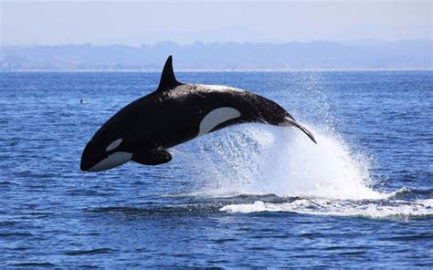Killer Whale Current Research