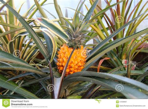 Pineapple Plant In A Greenhouse Stock Image Image Of