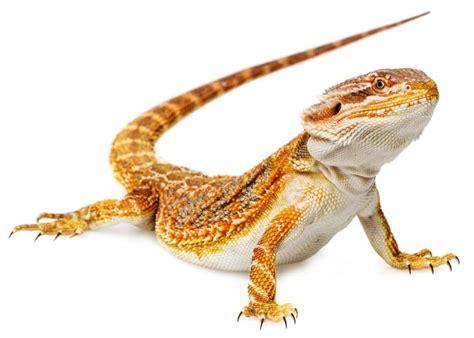 what kind of heat l for bearded dragon bearded dragon vivarium size temperature setup haa pets