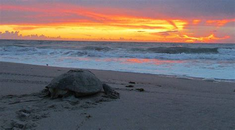floridas sea turtle nesting season begins today tips