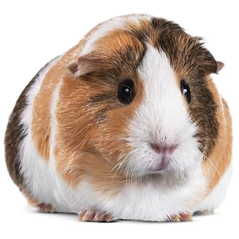 use tool box for sale guinea pigs for sale buy live guinea pigs for sale petco