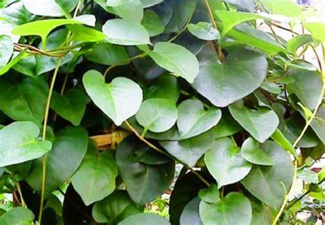 manfaat khasiat tanaman binahong sebagai obat herbal