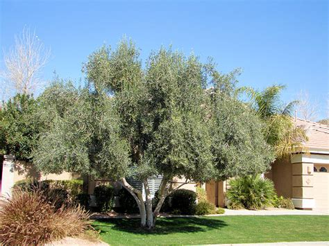 olive trees california fruitless olive trees for california landscapes and gardens cse for landscape architects