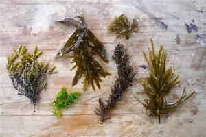 Foraging Seaweed for Home & Garden Use - MilkwoodMilkwood ...  Seaweed