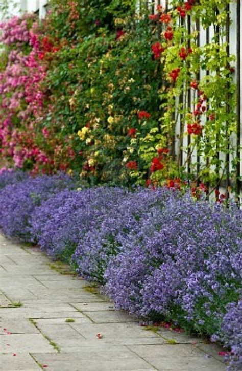 lavender border garden beautiful border of lavender with climbing roses garden pinterest beautiful climbing and