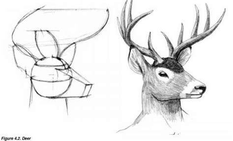 How Draw Deer Step Guide