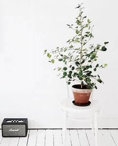 Eucalyptus En Pot : bekend van de verkoudheidssnoepjes en balsem maar ~ Melissatoandfro.com Idées de Décoration