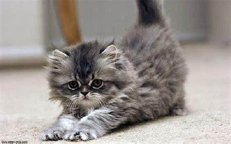 chat persan gris chat persan gris mon regard sur le voyage et la nature