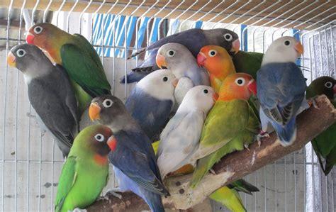 African love birds : birdpics
