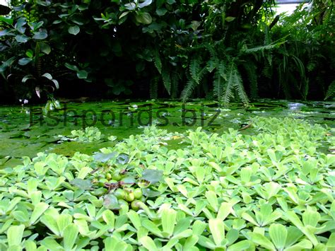 fish pond plants guide  species