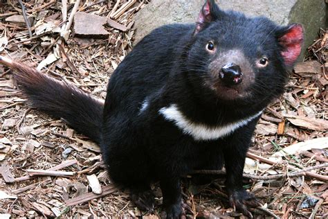 Tasmanian Devil Animal Planet The Most Extreme Wiki