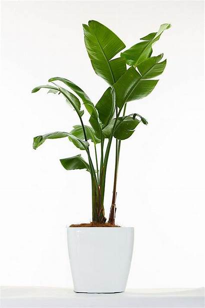 Indoor Paradise Bird Tree Strelitzia Palms Plants