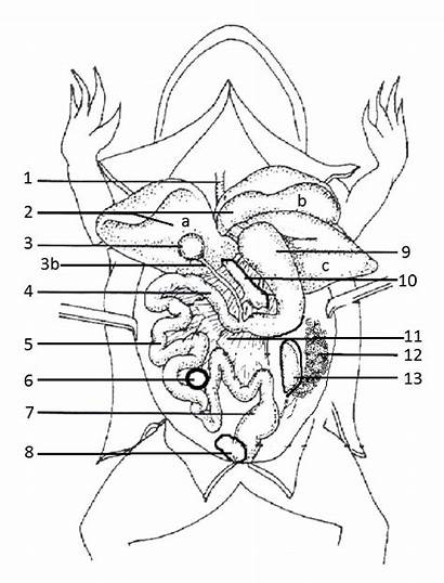 Frog Coloring Anatomy Worksheet Dissection Biology Libretexts