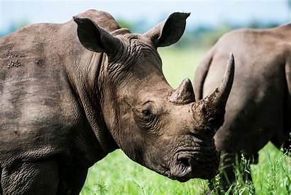 Rhino Animals Animal Africa Project Expand Data