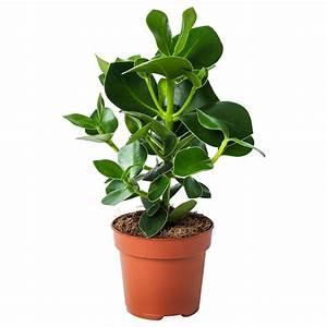 Pflanzen Bei Ikea : clusia pflanze ikea ~ Watch28wear.com Haus und Dekorationen